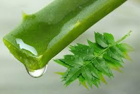 Neem Oil and Aloe Vera for dandruff in marathi